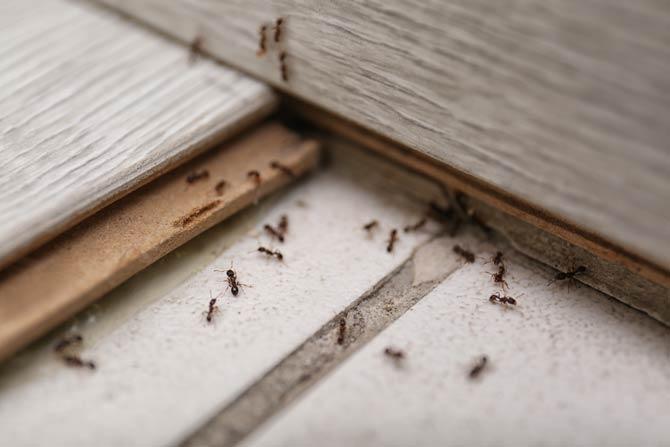 Ameisen im Haus Ameisen suchen nach Nahrung