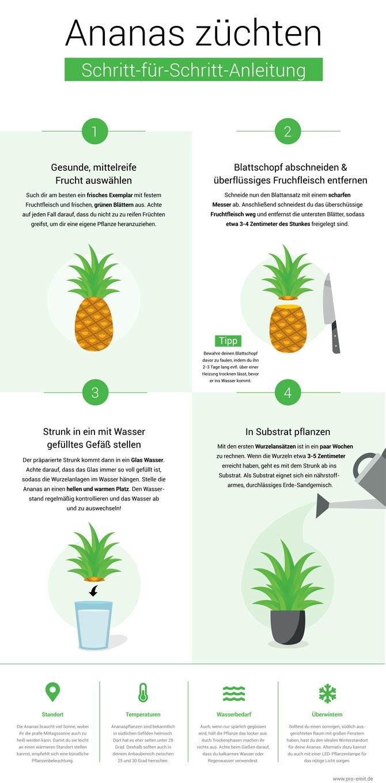 Ananaszucht - Infographik