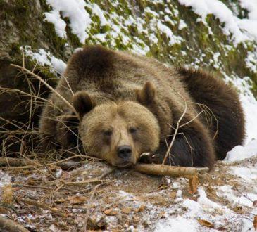 Bär beim Winterschlaf