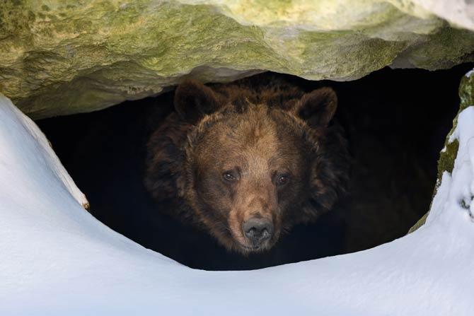 Bär in Höhle