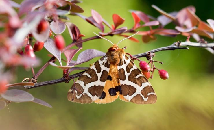 Braune Bär - Schmetterling