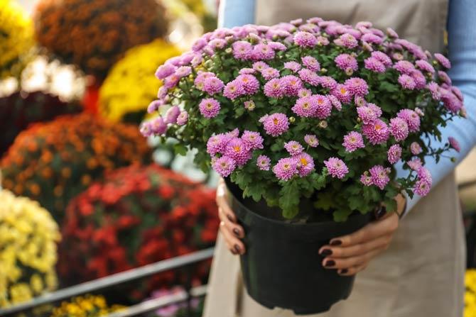 Chrysanthemen giftig für Katzen