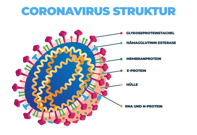 Coronavirus Struktur Schaubild