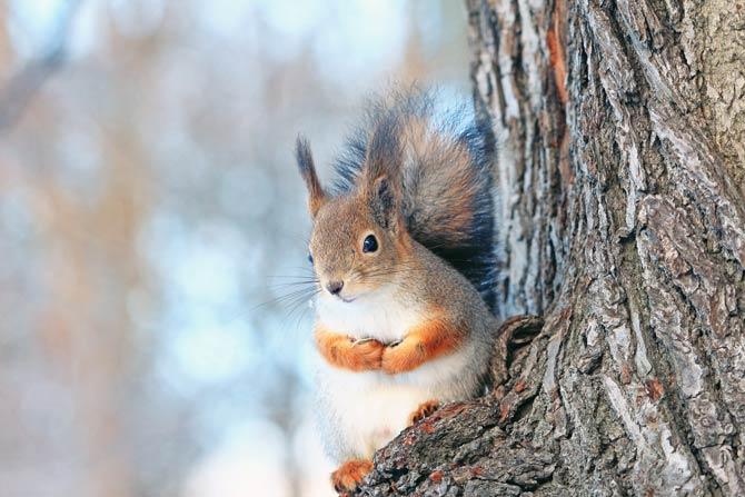 Eichhörnchen Winterzeit