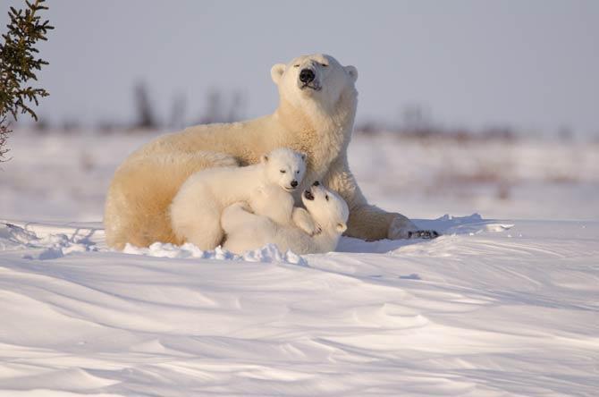 Eisbären halten keinen Winterschlaf