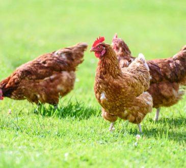 Fakten über Hühner
