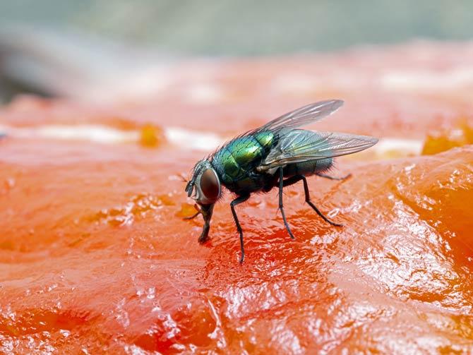 Fliege auf Lebensmittel