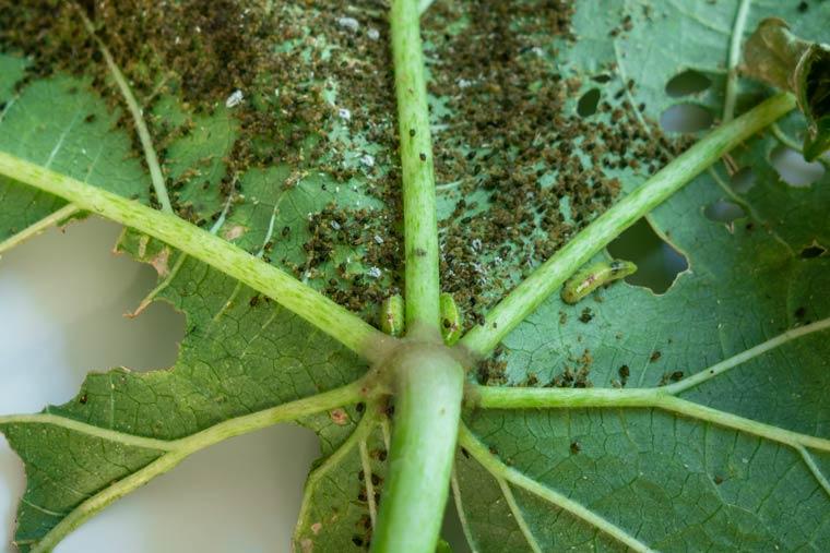Gewittertierchen Pflanze