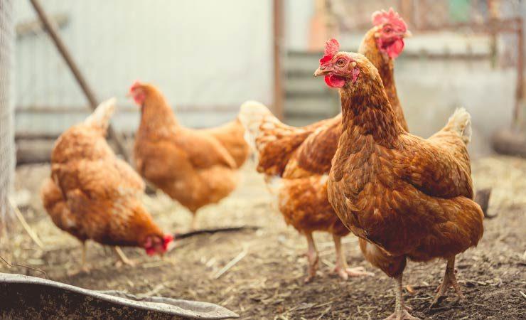 Hühner im eigenen Garten