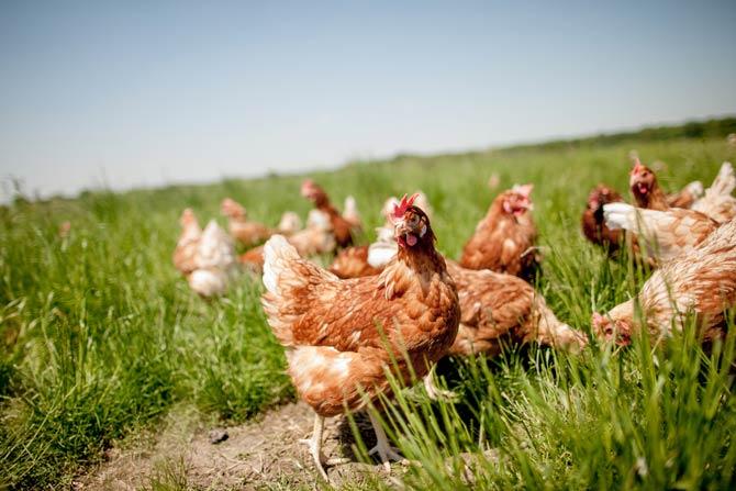 Hühner sind Empathisch