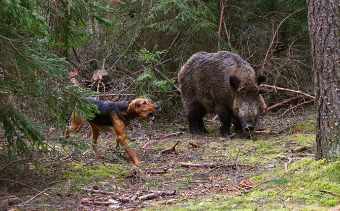 Hund mit Wildschwein