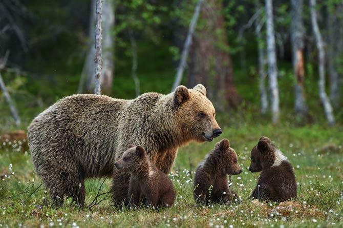 Jungtiere Bären