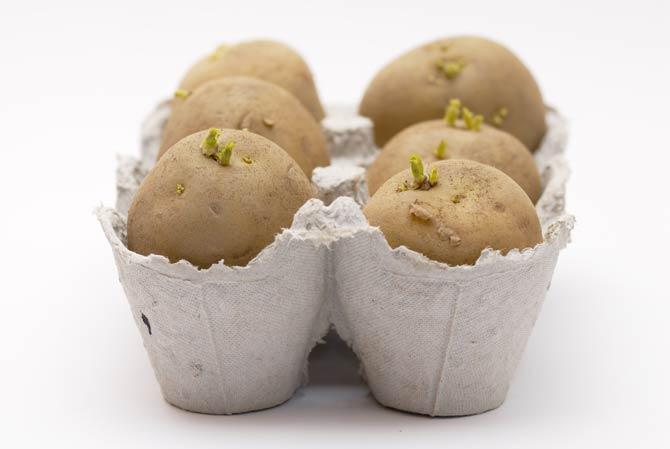 Kartoffeln im Eierkarton züchten