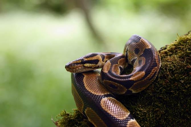 Königs Python