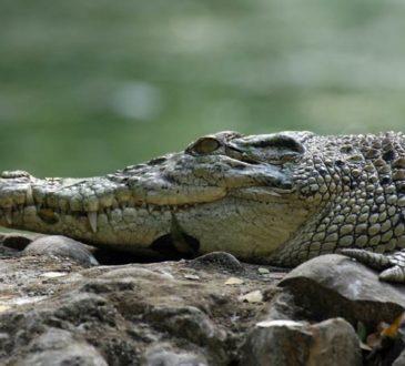 Das Krokodil - Das Zootier des Jahres 2021