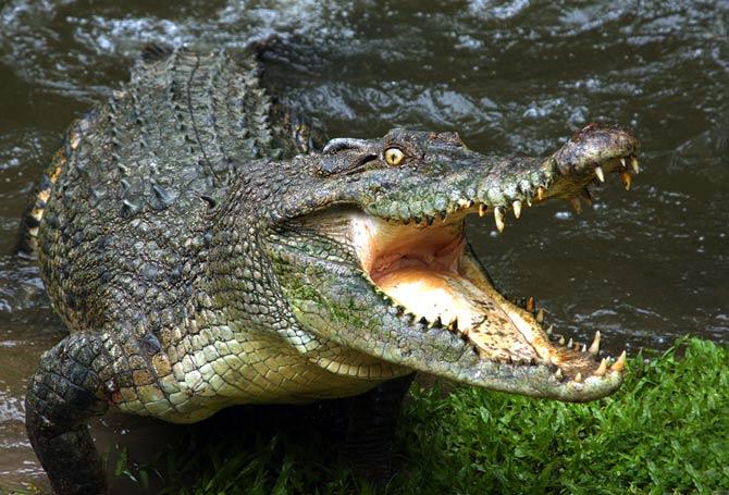 Krokodile sind perfekte Jäger