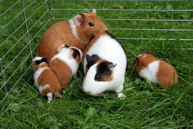 Meerschweinchenfamilie