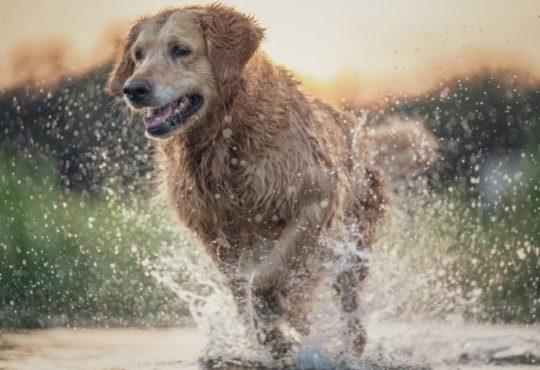Nasses Fell bei Hunden