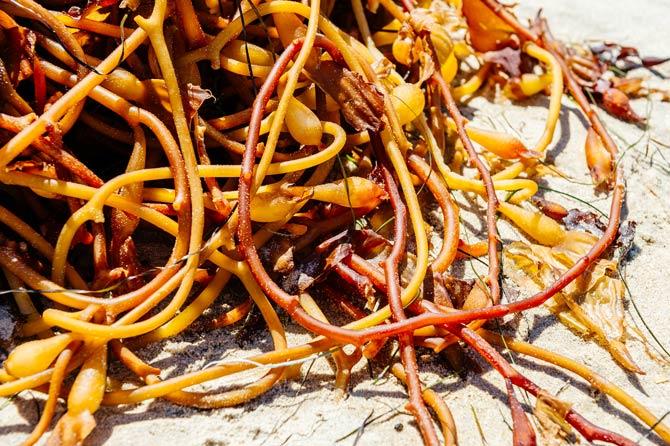 Riesen-Tang an der kalifornischen Küste