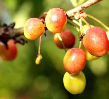 Achtung Schädling - So schützen Sie Ihre Kirschen vor Wurmbefall