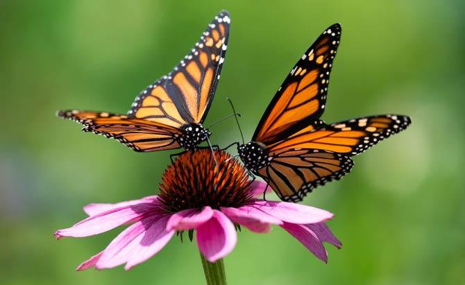 Schmetterlinge Nektarpflanzen
