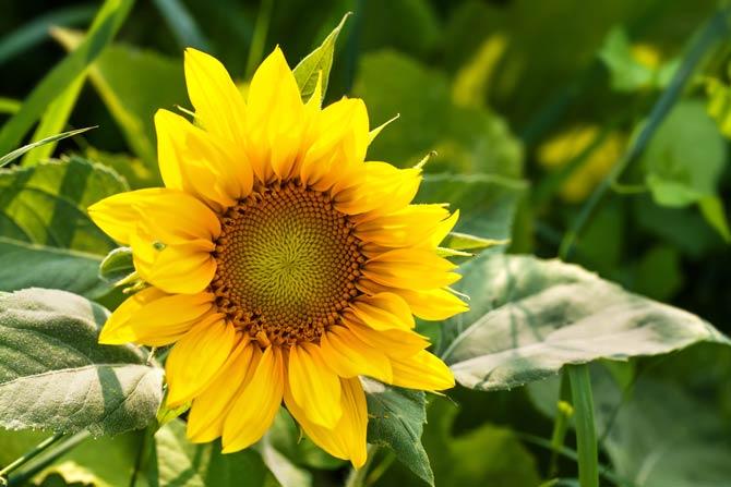 Sonnenblume - ungiftige Pflanze im Garten