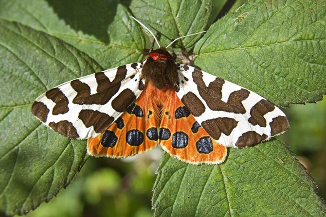 Spannweite Braune Bär - Schmetterling