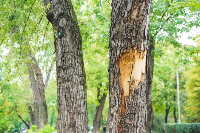 Ursache für aufgeplatzte Baumrinde