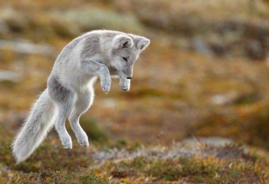 Verhalten arktischer Tiere verändert sich