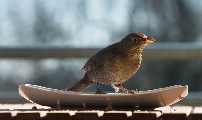 Vogel Tränke
