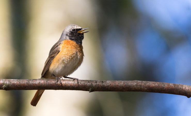Vogelgesang: Welcher Vogel zwitschert wann?