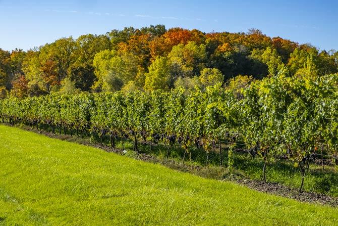 Weinanbau in der Region Niagara in Ontario