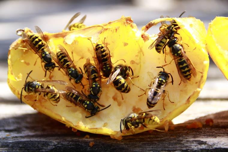 Futterquellen zur Ablenkung haben sich bewährt - Beispielsweise überreifes Obst