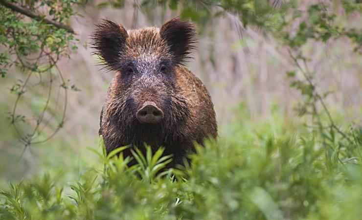 Wildschweinangriff