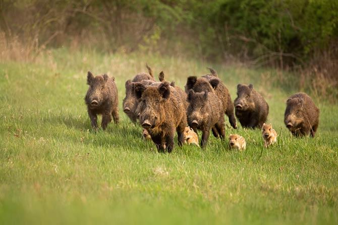 Wildschweinrotten mit Jungtieren